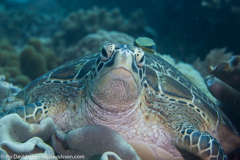 BD-151225-Apo-0040-Chelonia-mydas-(Linnaeus.-1758)-[Green-sea-turtle.-Grön-havssköldpadda].jpg